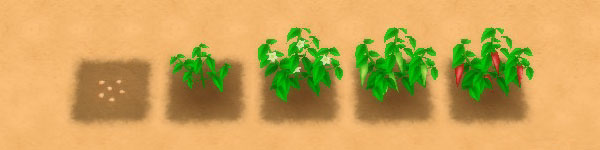 Chili Pepper growth stages image